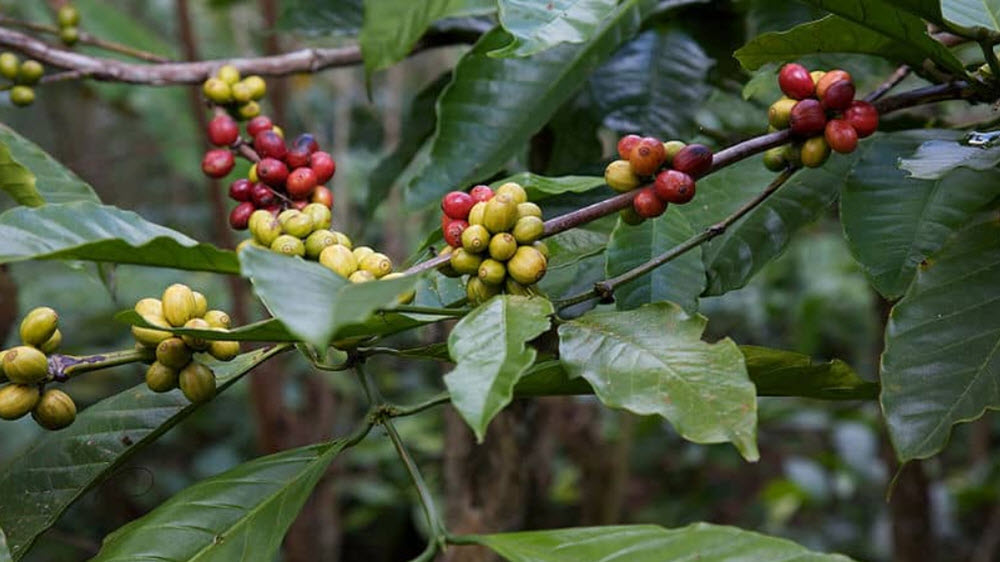 Coffea charrieriana