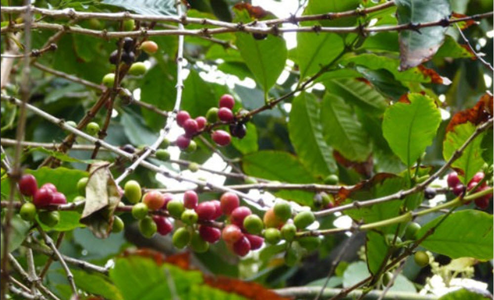 Coffea stenophylla